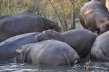 Saint lucia hippo - 170635900