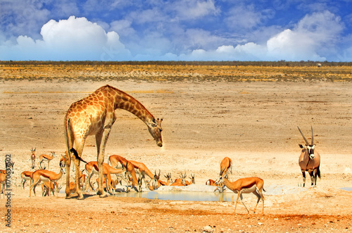 Vibrant waterhole with giraffe and springbok against a blue cloudy sky in Etosha Poster