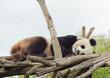 Panda - 170638121