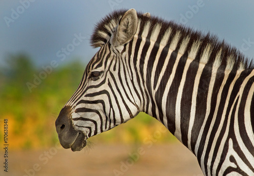 Side Profile of a burchell zebra face with a natural plains background