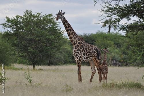 Giraffe in Serengeti Poster