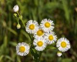 Daisy Fleabane - 170653311