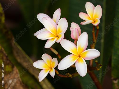 Fotobehang Plumeria Plumeria flower / Plumeria flower (frangipani, pagoda, temple) in the garden.