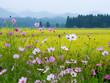 コスモスと稲穂 田舎の水田風景 - 170661373