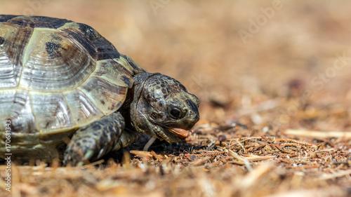Aluminium Schildpad Mediterranean land tortoise