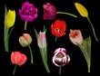 ten color tulip flowers on black