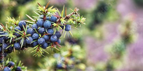 Juniper, Juniperus communis, Lüneburg Heath, Niemcy