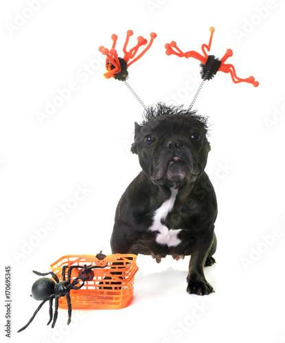 Fotobehang Franse bulldog french bulldog and halloween