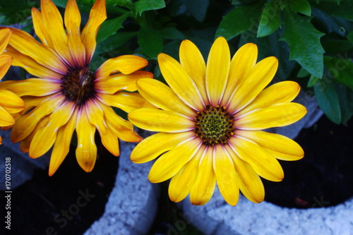 Fotobehang Gerbera gerbera yellow flower summer garden
