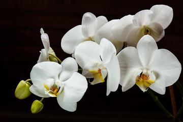 Flowers white orchids on a black background