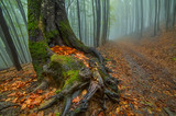 Foggy forest in autumn. An old tree with a large double, in driving fallen leaves and leaves. A calm autumn atmosphere of humidity and pacification.