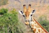 Giraff in Chobe National Park, Botswana - 170719192