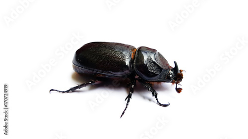 Fotobehang Neushoorn beetle isolated on white background