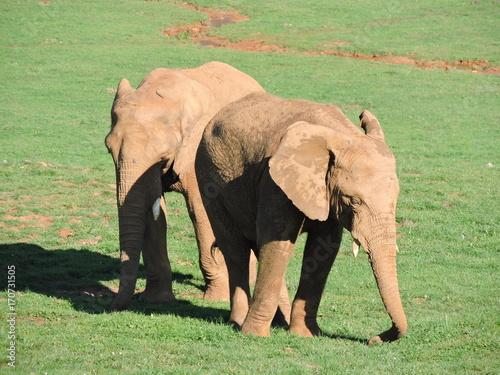 El elefante, el mayor de los mamíferos terrestres Poster