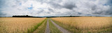 A field of ripe wheat road and a blue sky with clouds. Panoramic view - 170735785