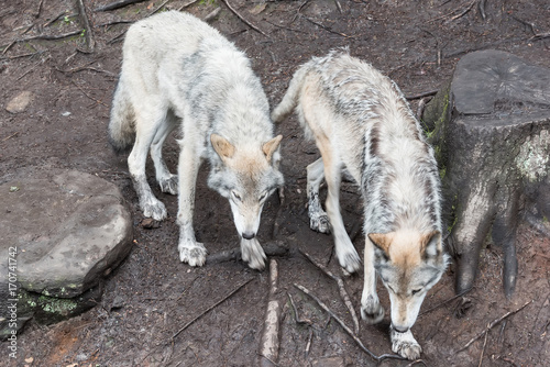 Aluminium Wolf Loup Gris