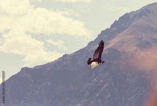 Condor - 170755507