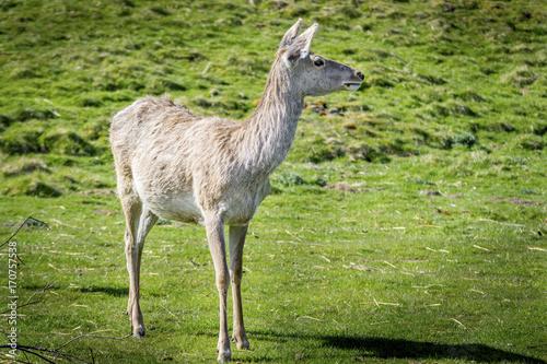 Fotobehang Hert White Lipped Deer