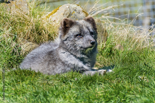 Aluminium Wolf Wolf Cub Lying on Grass