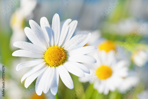 Chamomile among flowers - 170764374