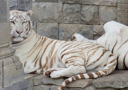 Fotobehang Tijger Tigre blanc
