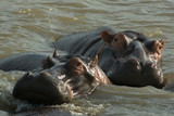 South Africa two hippos - 170770359