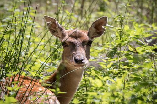 Fotobehang Hert Tierpark Oberwald
