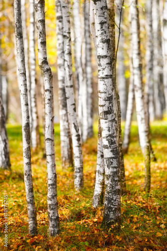 Fotobehang Berkenbos autumn, birch forest background