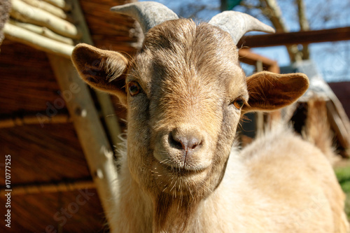 Dwarf Goat looking and smiling at you