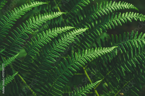 Fern leaves. Close up. Abstract.