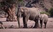 Elephants, Damaraland, Namibia