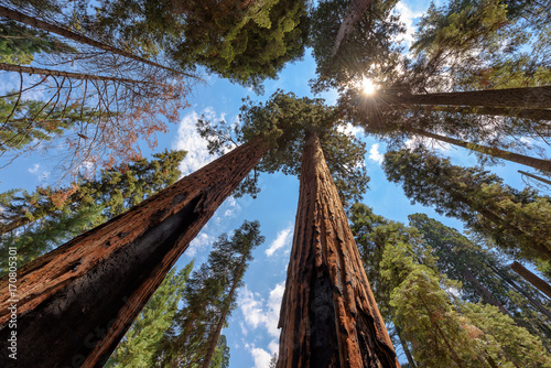 Giant tree closeup in Sequoia National Park.