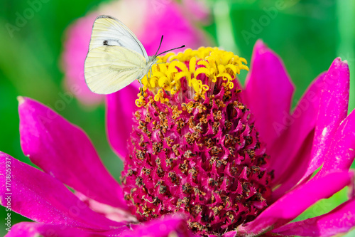 Foto op Plexiglas Groene White butterflies Pieris rapae family Pieridae of pierids is sitting on a pink flowe Zinnia, macro