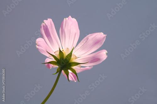 Foto op Canvas Lavendel コスモス 秋 花