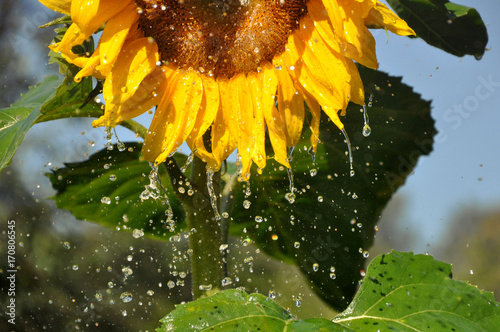 Fototapeta  Ripe yellow sunflower with a lot of water droplets.