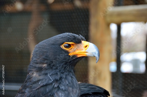 Fotobehang Eagle Eagle in the Moholoholo Wildlife Rehab Centre, South Africa