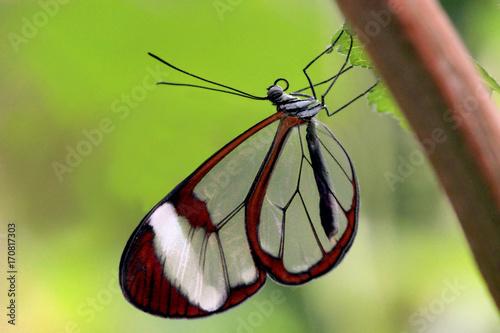 Fotobehang Vlinder Glasflügelfalter (Greta oto)