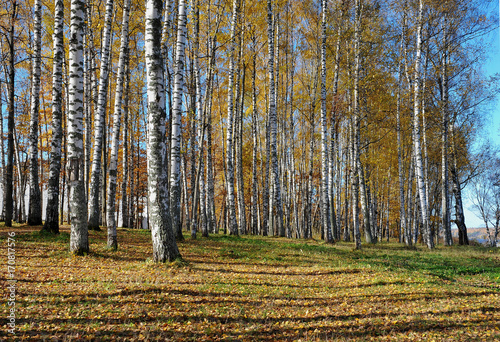 Papiers peints Bosquet de bouleaux Golden autumn. Sunny day. Birch Grove.