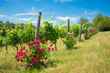 Vineyard with rose bushes in Tuscany, Italy