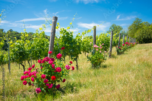 Fotobehang Wijngaard Vineyard with rose bushes in Tuscany, Italy