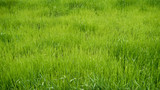 Fototapety Green meadow. grass field