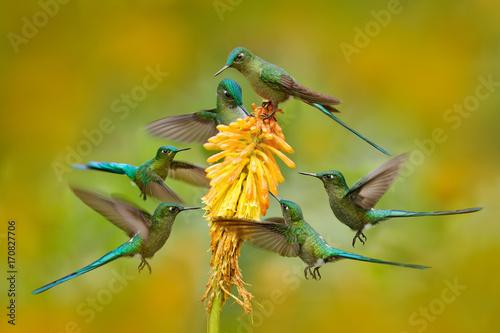 Stado ptaków ssących nektar z żółtego kwiatu. Hummingbird Długoogonkowa sylfida je nektar od pięknego żółtego kwiatu w Ekwador. Przyroda scena od zwrotnika natury. Sześć ptaków wokół kwiatu pomarańczy.