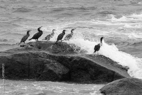 cormorans - 170828721