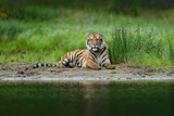 Tiger lying near the river water.  Tiger action wildlife scene, wild cat, nature habitat. Tiger with greenwater grass. Danger animal, tajga in Russia. Wild cat in forest, lake forest. - 170829515