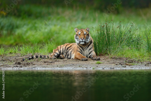 Tiger lying near the river water Poster