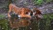 Bengalische Tiger in einem zoologischen Garten, Pantheras Tigris