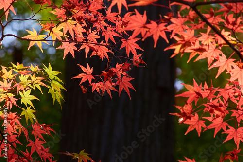 Fotobehang Koraal 日本の紅葉