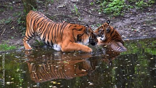 Fotobehang Tijger Bengalische Tiger in einem zoologischen Garten, Pantheras Tigris