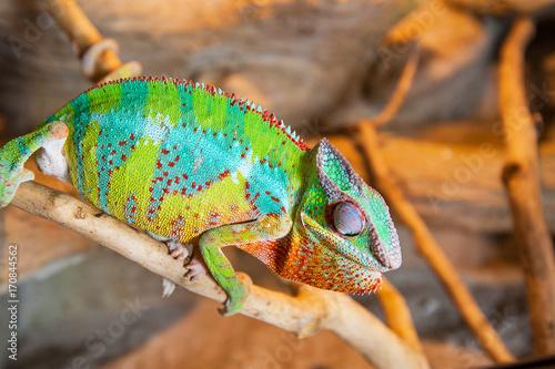 Fotobehang Kameleon Detail of Chameleon in terrarium.