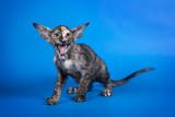 Oriental little kitten with huge ears on Studio blue background.